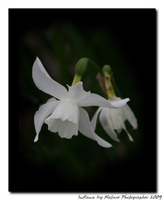 JonQuil Flower... (Alayna's Birth Flower)