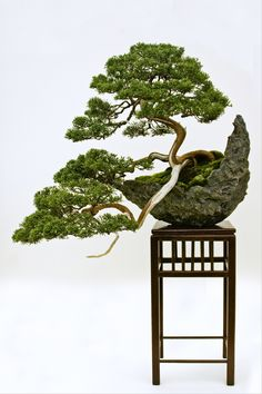 JP: Chinese Juniper