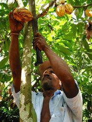 Cocoa pod harvesting