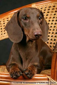 Oh my gosh look at him!!! doxie