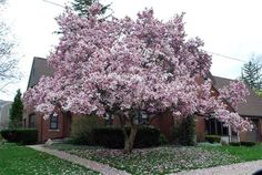 THIS is what my front yard needs -- jane magnolia tree. lovely.