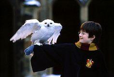 harri potter, harry potter, hedwig, snowy owl