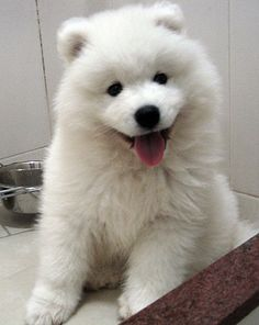 Samoyed Puppy from the proposal!