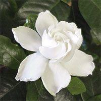 Gardenia - Love the smell
