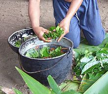 Ayahuasca being prepared in the Napo region of Ecuador