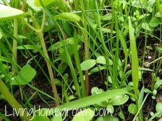 Forage Seed for Chickens