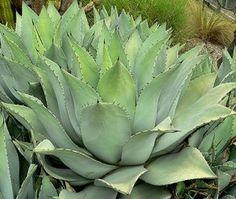 Agave gracilipes - Alamogordo - drought tolerant and frost hardy zone 6