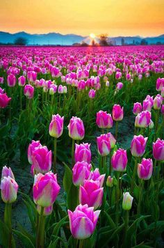 Tulip Field Sunset,