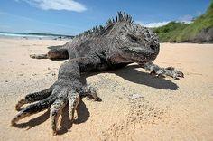 Marine #Iguana. #galapagos #lizard #reptile