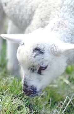 Lamb ♡