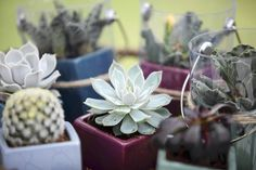 Mini potted plants such as these succulents from @Costa Farms are part of a trend toward tiny displays.