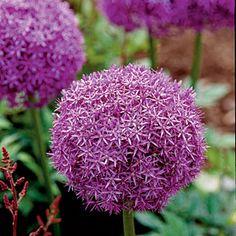 Top 10 Plants for Coastal Gardens | Allium | CoastalLiving.com