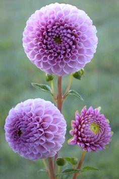 plant, balls, shades of purple, purple dahlia, purple flowers, beauti, aunts, floral arrangements, flowers garden