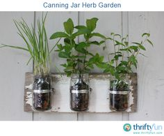 This is a guide about growing herbs in canning jars. A canning jar herb garden is a decorative way grow herbs in your kitchen.