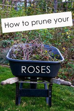 How to prune your roses.
