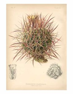 Echinocactus polycephalus  Many-headed Hedgehog Cactus or Cottontop Cactus    Range: Arizona, California & Nevada