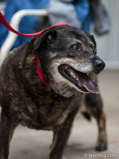 Elderly lab mix – located at Animal Resource Center