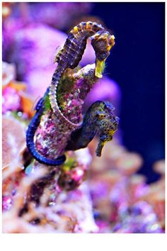 Sea Horses, stunning colors!- wish I had a good ocean tank for some of these cuties!!