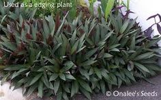 Tradescantia spathacea Dwarf Moses in the Cradle, full sun/part shade, well drained soils, treat as a succulent.