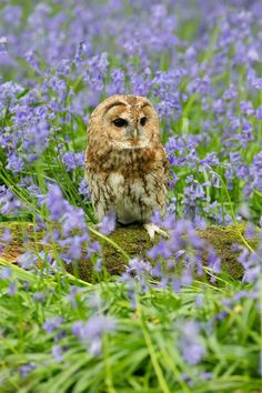Tawny in the bluebells