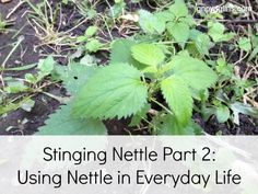 Stinging Nettle Part 2: Using Nettle in Everyday Life | You'll love the ideas shared on how you can use this useful herb in your kitchen. You can purchase dry nettle leaves or I'll show you how to gather your own and dry them at home. | GNOWFGLINS.com