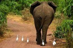 Elephant and Birds bird, 楽しい写真達, eleph, ador, africa, photographi