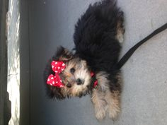 she will be mine <3 #morkie #dogs #cute