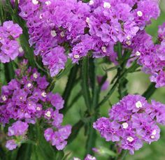 Purple Statice Filler Flower - 10 bunches, $99.99