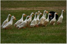 Six Duck Breeds For Your Small Farm | Big Picture Agriculture