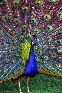 art photo reference peacock peacocks