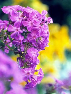 Garden Phlox Phlox is one of summers showstopping flowers. It bears big clusters of candy-colored blooms on 4-foot-tall stems from mid- to late summer. These blooms bear a sweet fragrance thats most apparent on warm, sunny days.