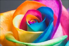 Rainbow Roses - The rainbow rose is a rose which has had its petals artificially coloured. The colouring method exploits the rose's natural processes by which water is drawn up the stem. By splitting the stem and dipping each part in a differently coloured water, the colours are drawn into the petals resulting in a multicoloured rose. Besides roses, other cut flowers can also be coloured using the same method.