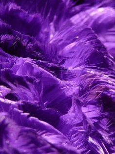 Purple feathers ♥