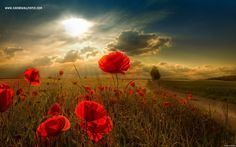 Poppies - Great Hd Wallpapers For Mac