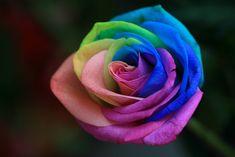 Rosa arcoíris