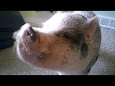 Remember that viral video of an adorable miniature pig heading downstairs to get oatmeal? Guess how big he is now...