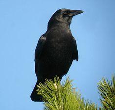 American Crow  3/9/2013,  Lake Sacajawea, Longview, WA