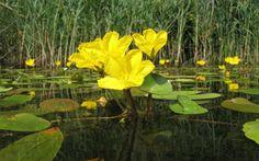 Plantas acuáticas: Ninfoides