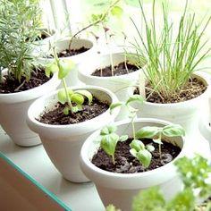 Indoor herbs - how to grow