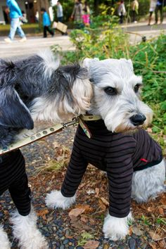 Miniature Schnauzers by Terry