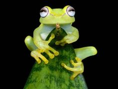 """theanimalblog:  Tree Frog """"Tree frogs use aquatic habitats to reproduce by laying eggs on leaves  that overhang freshwater. When the eggs hatch, tadpoles take the plunge  to the waters below—where they live until they become young froglets and  climb back into the boughs above."""""""