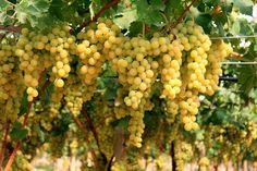 Sicilian Grapes..For Wine
