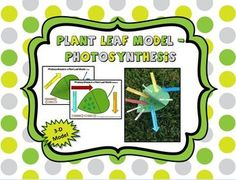Here's an activity to build a model of a leaf to help students understand the process of photosynthesis.