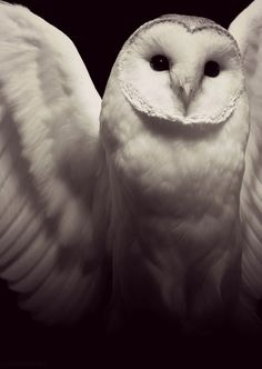 album covers, bird, animals, animal photography, a tattoo, angels, white owl, snowy owl, barn owls