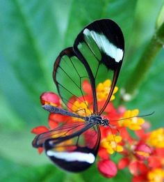 Glass wing butterfly...awesome!