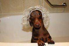 I'm ready... dachshund, dog, bath time