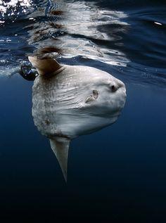 Sunfish. Mola mola.