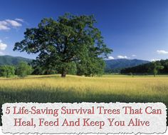 5 Life-Saving Survival Trees That Can Heal, Feed And Keep You Alive