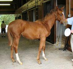 Caballos Pura Sangre http://www.mascotadomestica.com/razas-caballos/caballos-pura-sangre.html