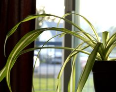 15 houseplants for improving indoor air quality - Spider plant